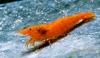 Orange Fire Zwerggarnele - Sakura Sunkist Garnele